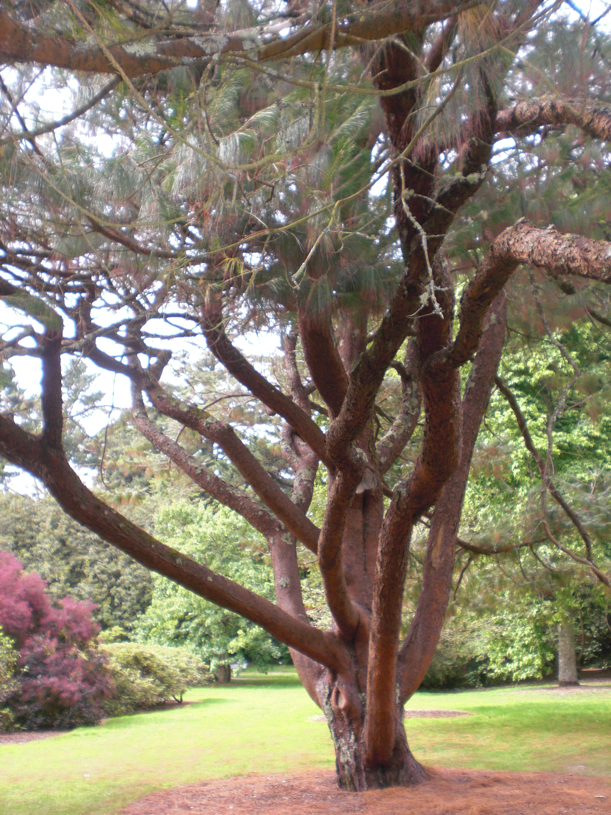 The Old - Pinus Patula at Trelissick