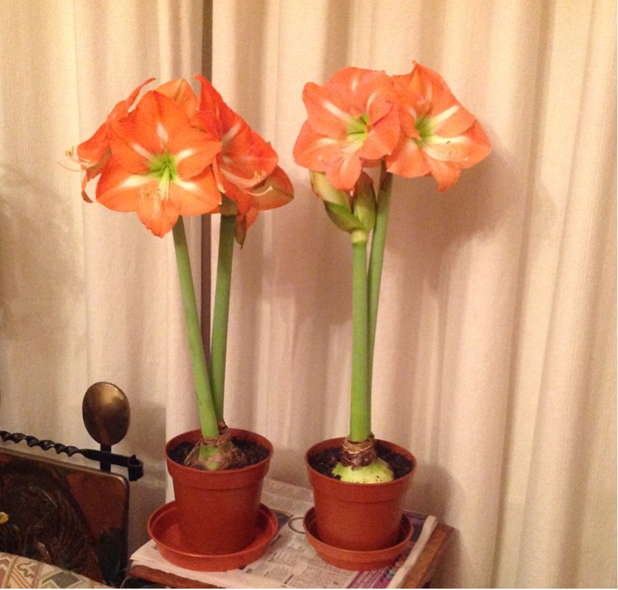 Amaryllis in full flower