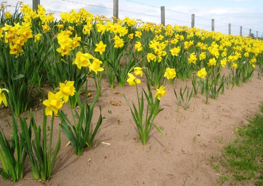 daffodils growing in sand