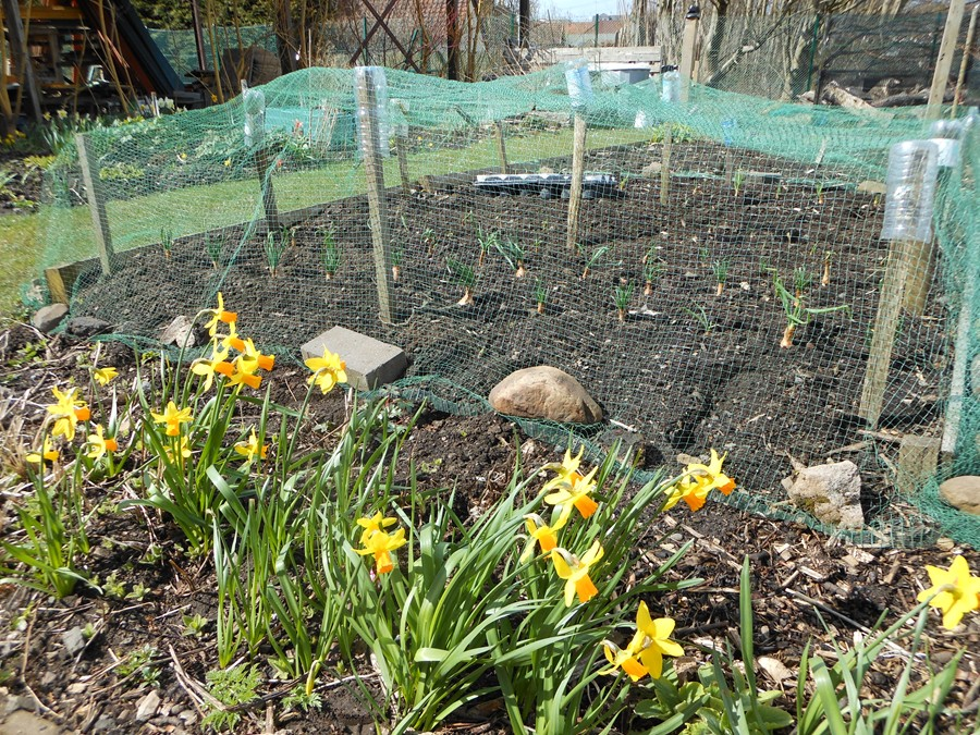 Spring at last on the allotment