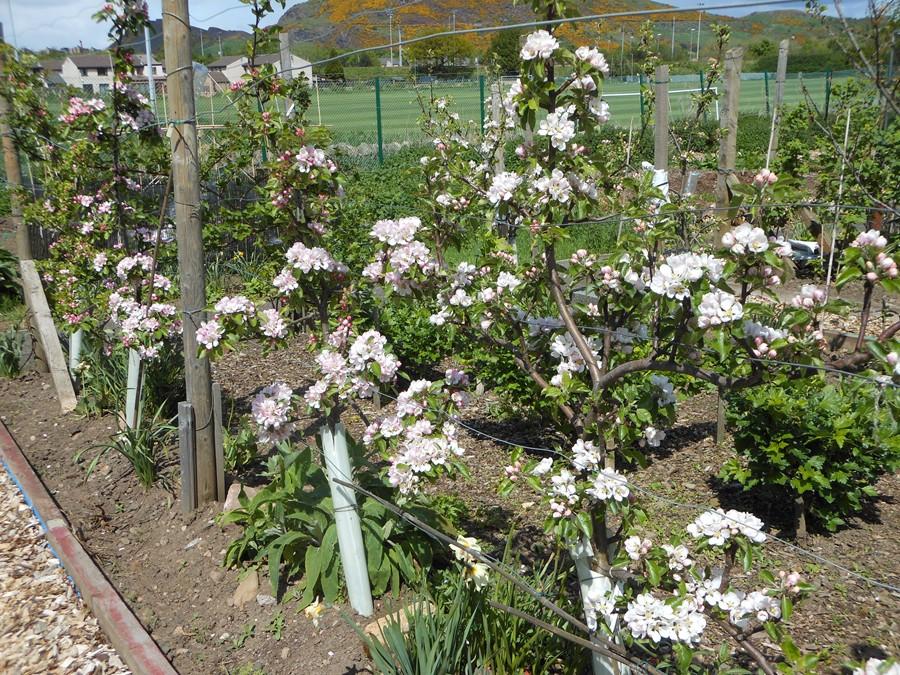 Discovery Apple Blossom