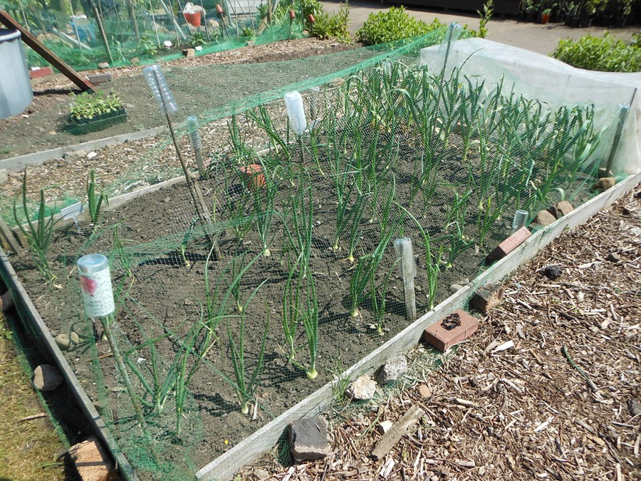 Autumn-planted onions Radar filling out