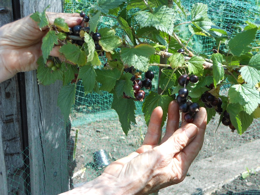 Picking blackcurrants on the allotment
