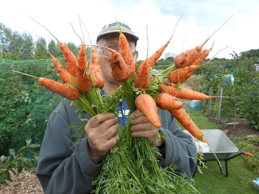 Bumper carrot crops - August 2013
