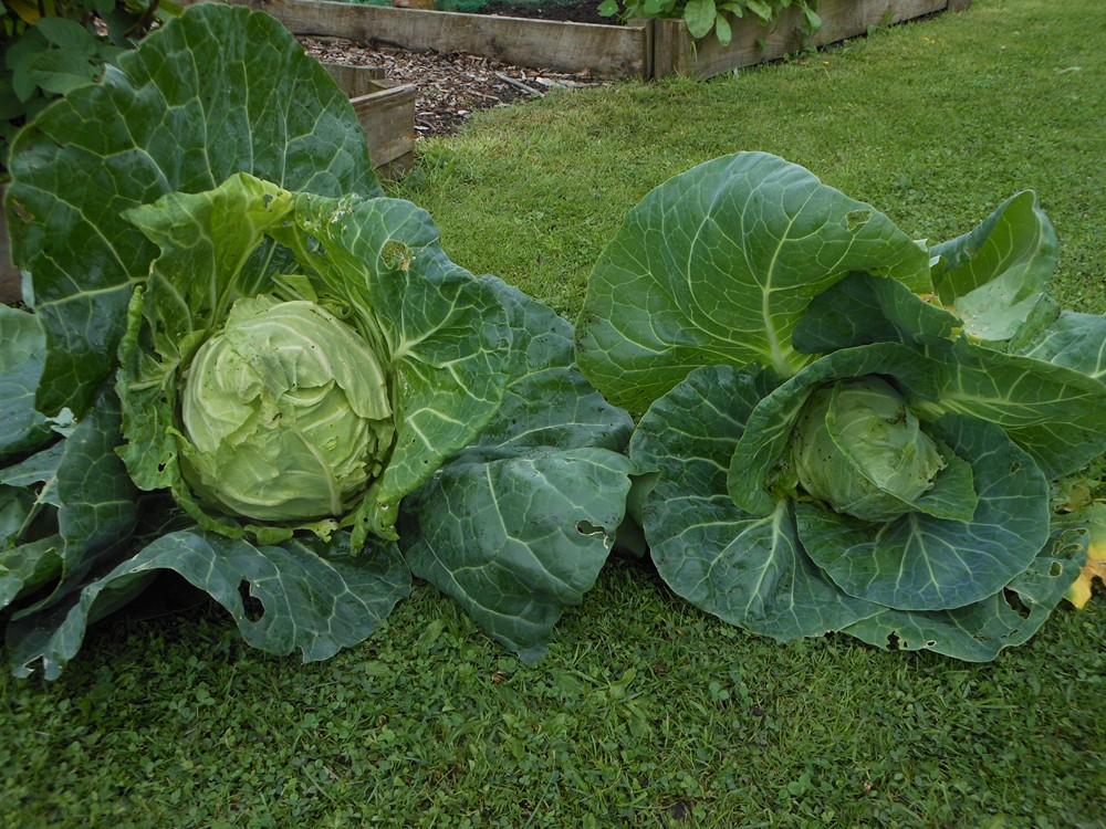 Cabbage comparisons