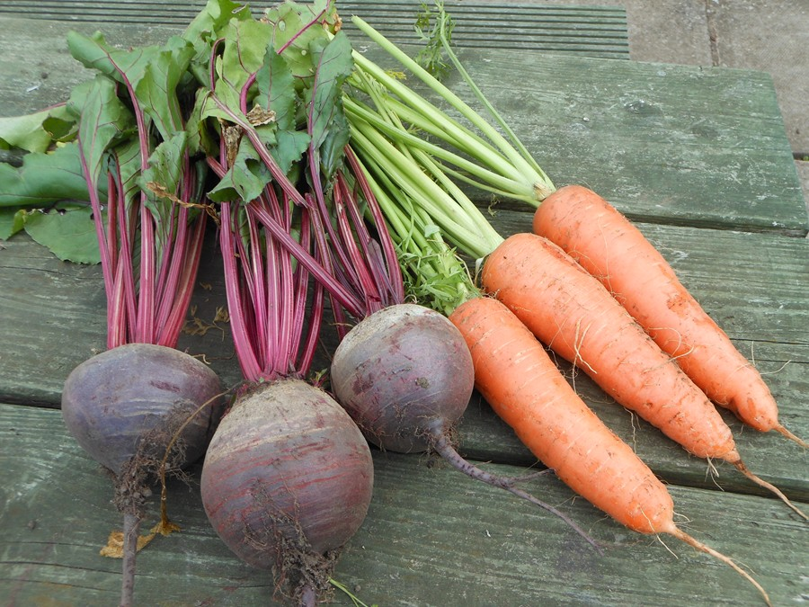 Carrots and Beetroot ready to prepare for entry to Dalkeith show