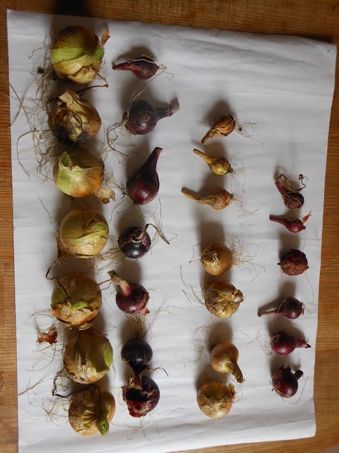 Onion comparisons (Biochar v Control)