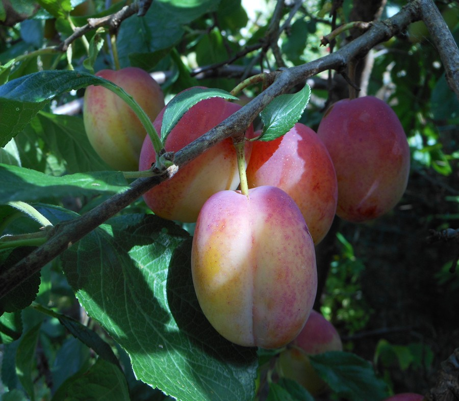 Victoria Plums on the allotment
