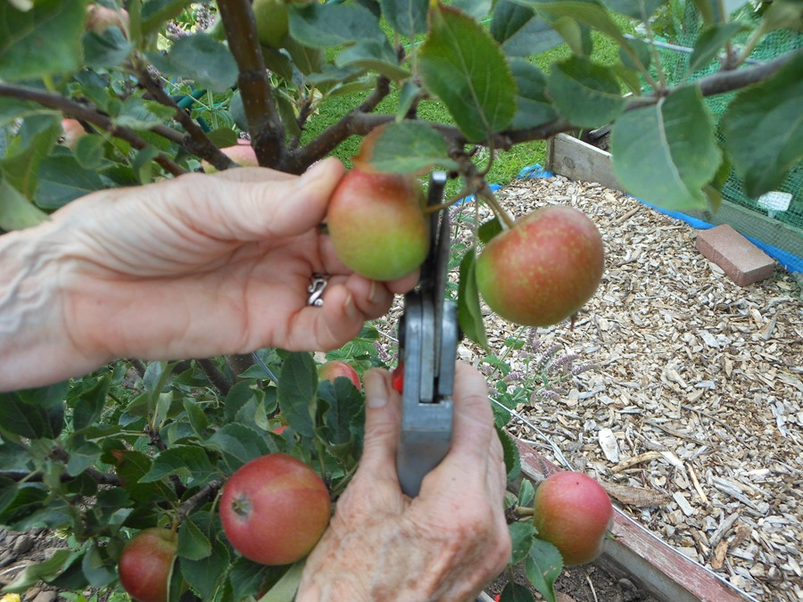 Thinning the apples August 2013