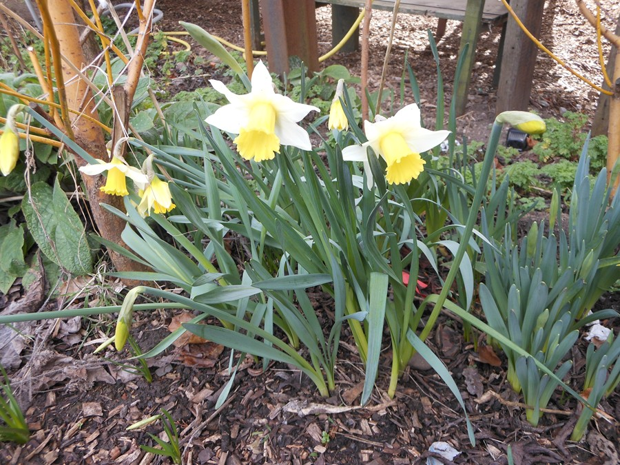 Daffodils on the allotment but too early for the Spring Show