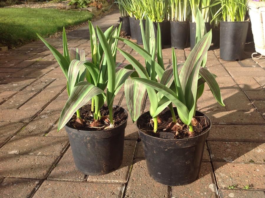 Flagging tulip foliage