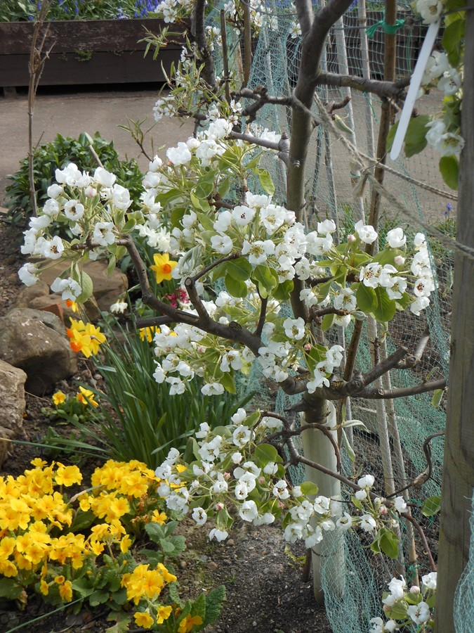 Pear blossom on the alotment 2014