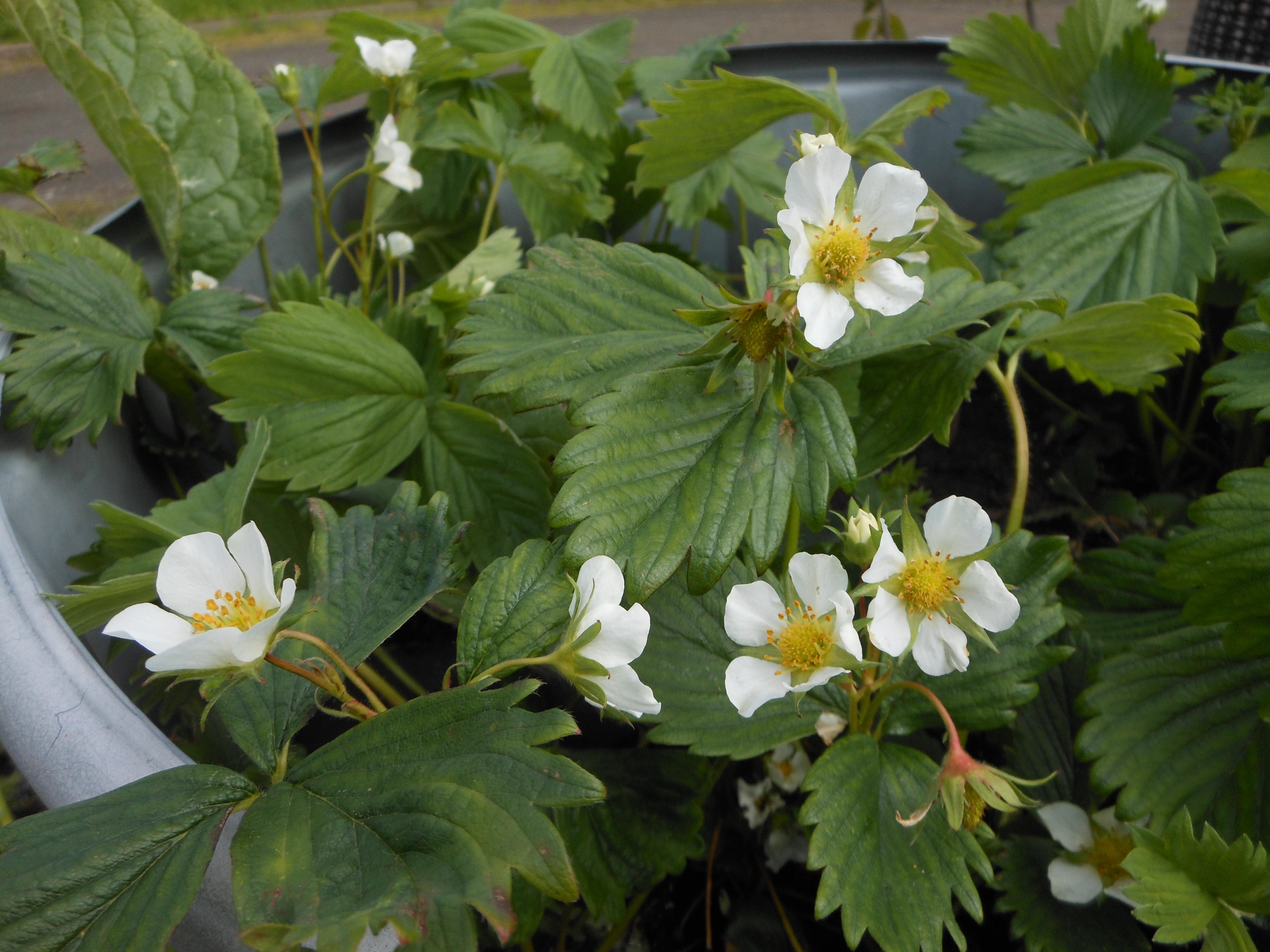 Strawberry plants in full flower