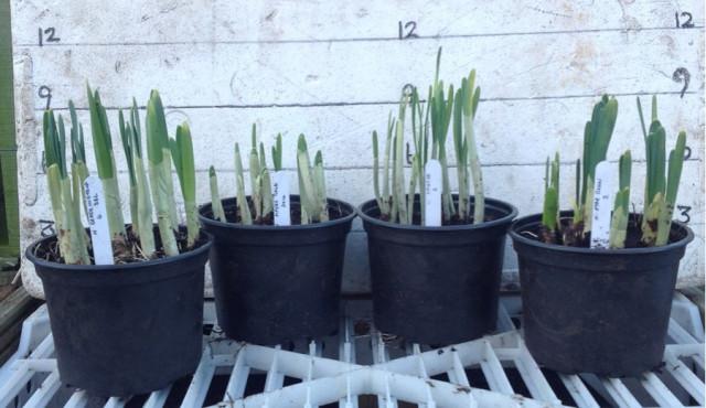 Caley daffodil pots