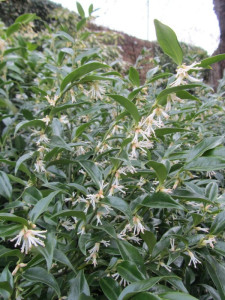 Sarcococca confuse
