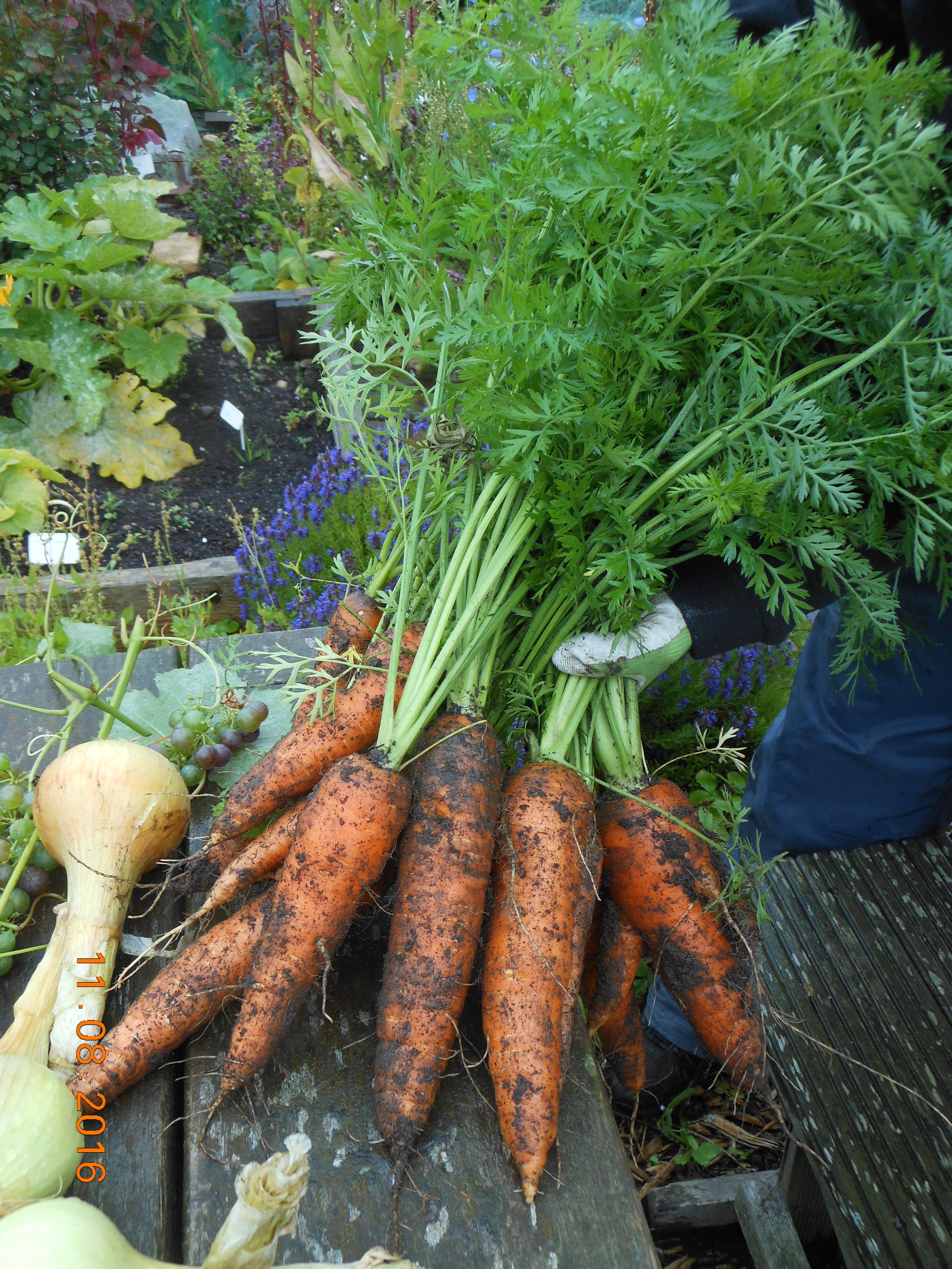 Carrots variety Nantes