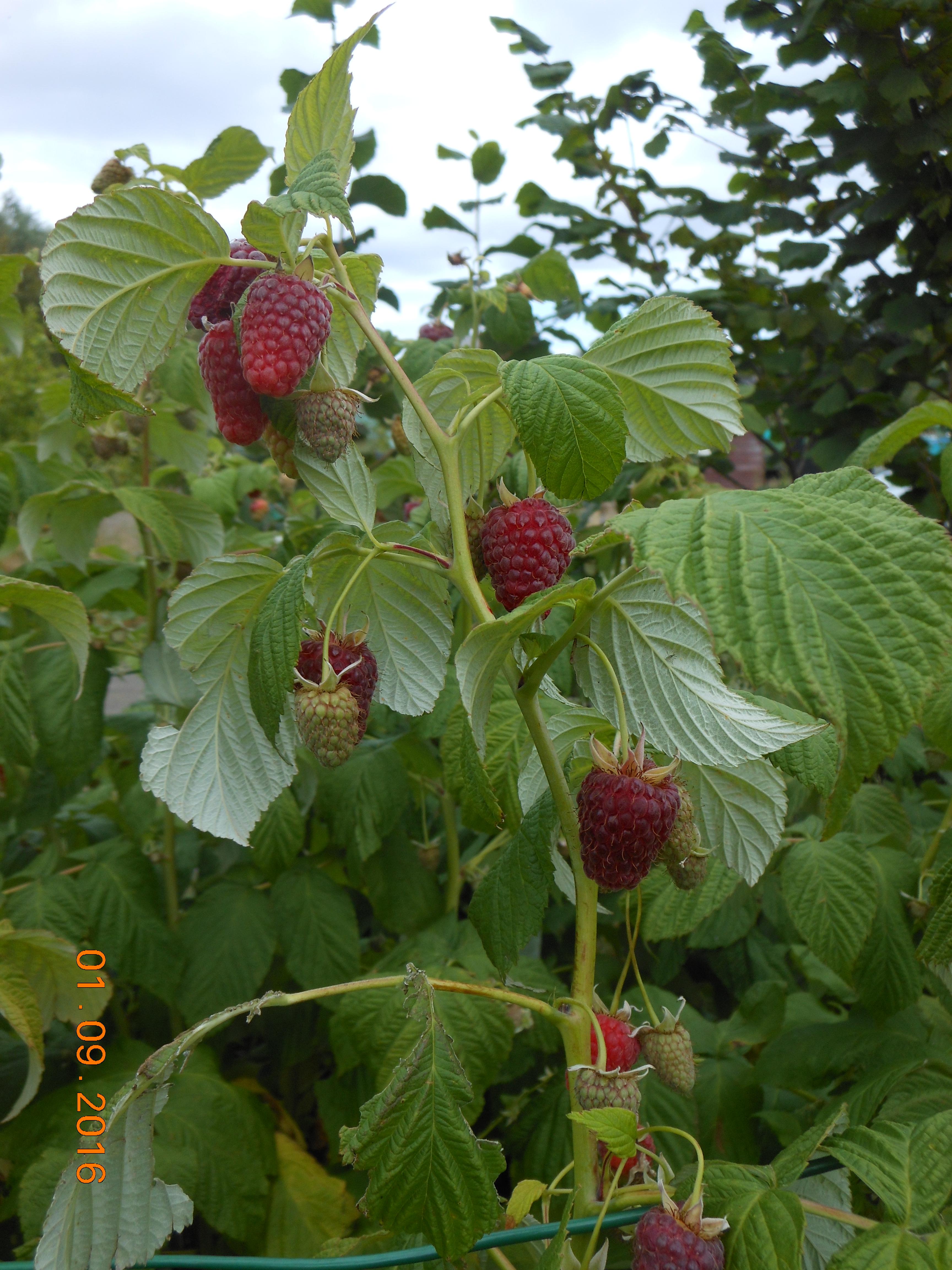 Autumn Raspberrries variety Joan JJPG