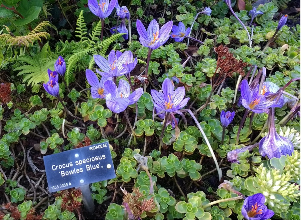 crocus-speciosus-bowles-blue-021016
