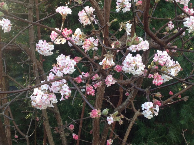 viburnum-4th-january