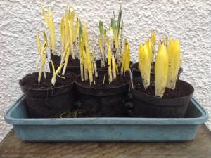 14-feb-caley-bulbs