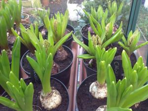 14-feb-hyacinth
