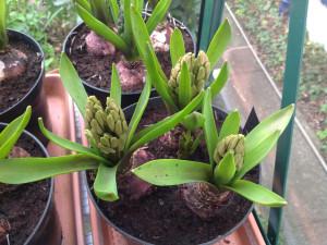 16-feb-hyacinth