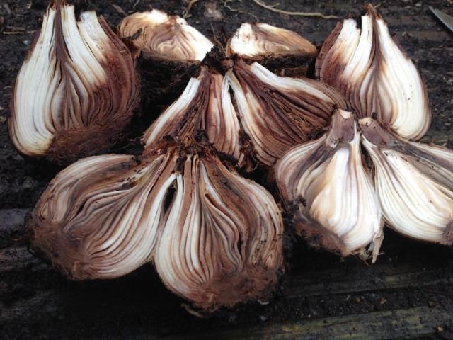 1st-feb-bulb-rot