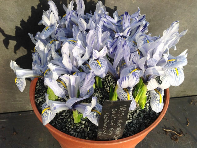 20-feb-iris-histroides-sheila-ann-germany