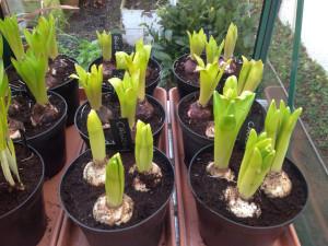 3rd-feb-hyacinths