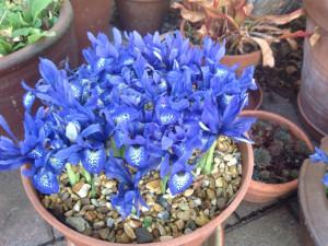 6th-feb-iris2