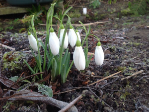 Galanthus Little Ben