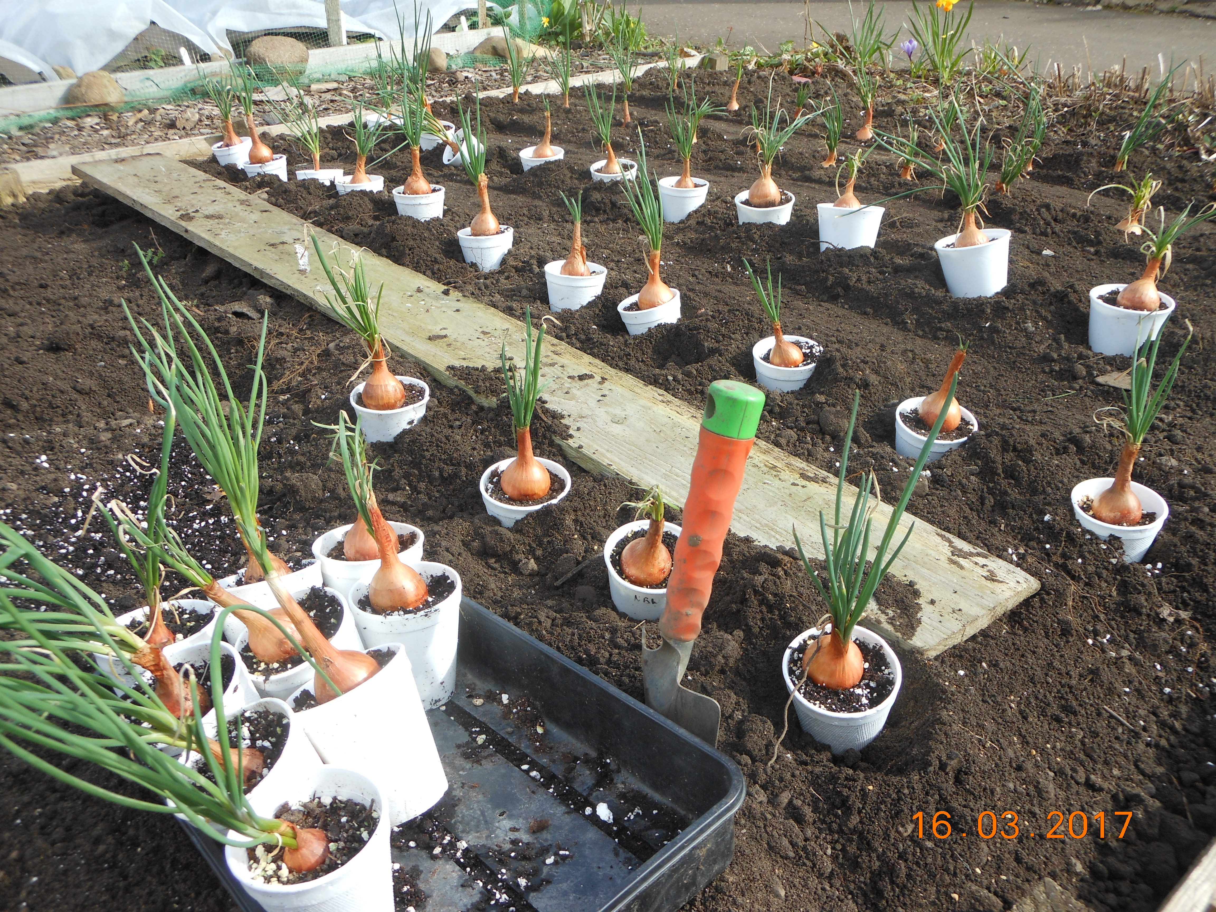 Shallots being planted