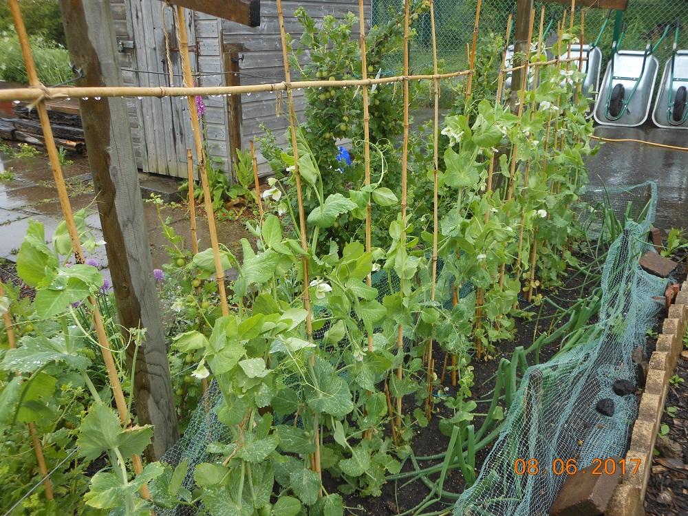 June 9 - Exhibition peas growing well