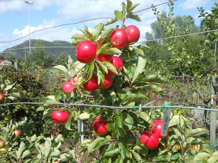 19 Aug - Brilliant colour on the Discovery Apples