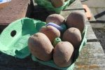 chitting-potatoes-variety-gemson