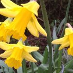 There are Daffodils in flower in George's garden.