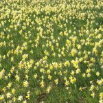 Wildflower of the Week – Wild Daffodils