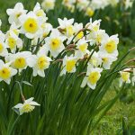 In Flower Now – Daffodils
