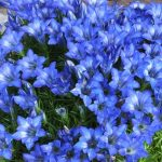 In Flower Now – Gentians