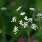 Wildflower Walk – 7th July