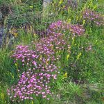 Holyrood Park Wildflower Walk