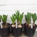 Last week in February update from George on his bulbs.