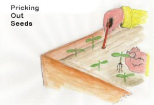 pricking_out_seeds