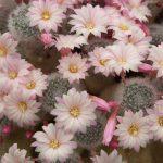 Cacti – flowering