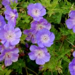 When is a geranium not a geranium?
