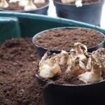 Tips from George on bulb planting for the Spring Show
