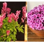 Virtual Spring Shows – Alpine &  Woodland Plants