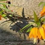 Tales from the Garden – April Frost and Flowers