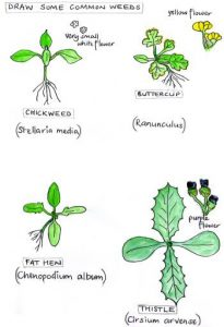 common_weeds