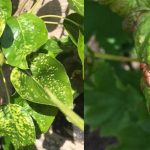 What is wrong with my fruit trees?